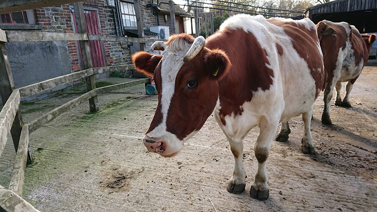 Sony-Xperia-XZ1-camera-sample-cow
