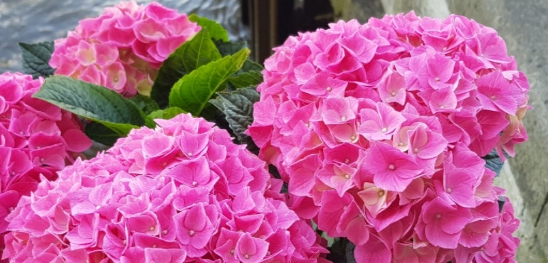 Samsung Galaxy S8 camera sample pink flowers
