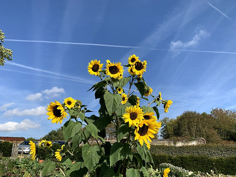 iPhone XS image sunflowers 1