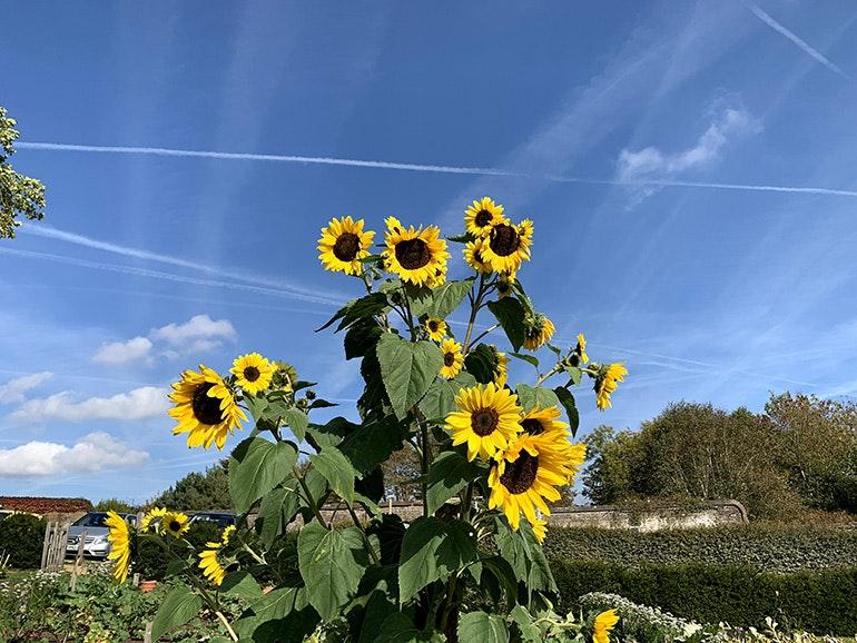 iPhone XS image sunflowers 1