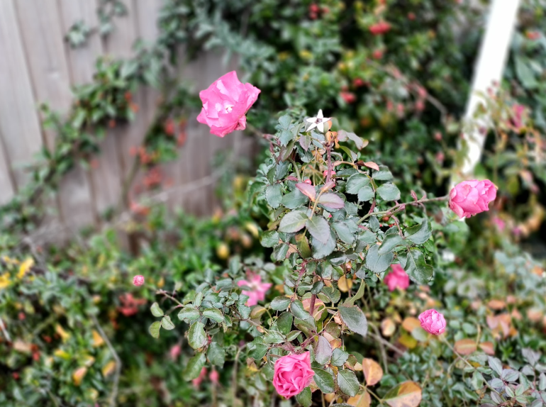 Nokia 8.3 camera sample portrait mode rose
