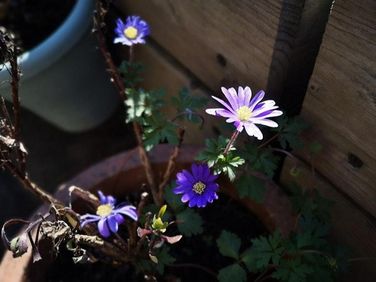 Huawei-P20-Pro-camera-sample-flowers-portrait-mode-lowlight