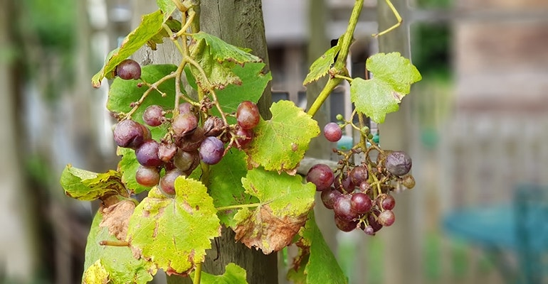 Samsung-Galaxy-Note-8-camera-sample-red-grapes