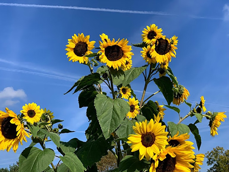 iPhone XS sunflowers 2