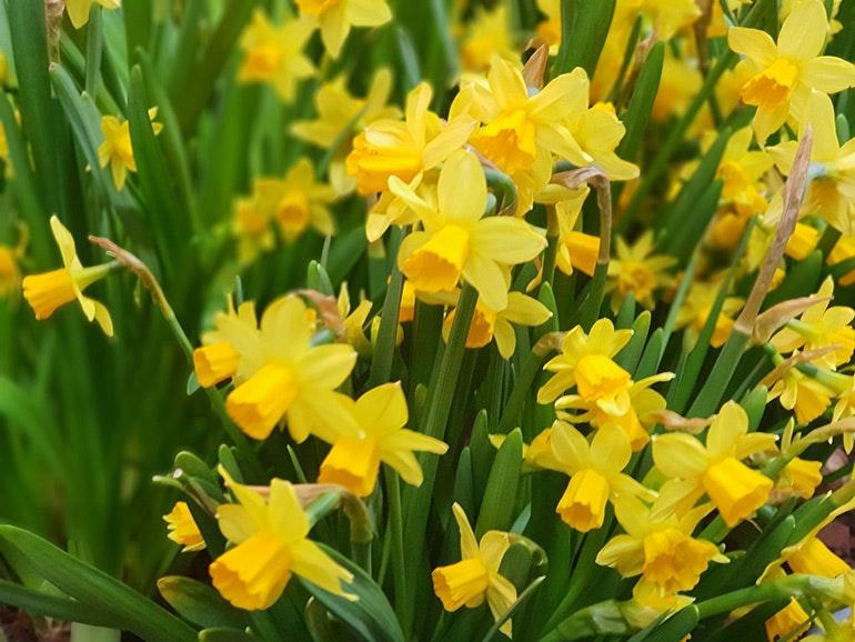Samsung-Galaxy-S9-Plus-camera-sample-daffodils